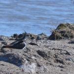 Чибиса ещё называют пигалицей (Vanellus vanellus). А вообще-то это небольшая птица семейства ржанковых