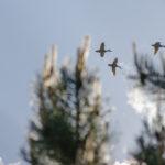 Утки летят