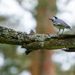 ТРЯСОГУЗКА БЕЛАЯ (Motacilla alba)